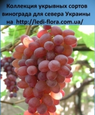 Кишмиш Блаш сидлис (Blush seedless) Саженцы винограда